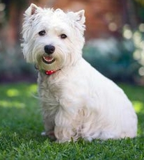 Experience - I stroke a cute and friendly dog in the park.  The owner tells me the dog is a Westie.