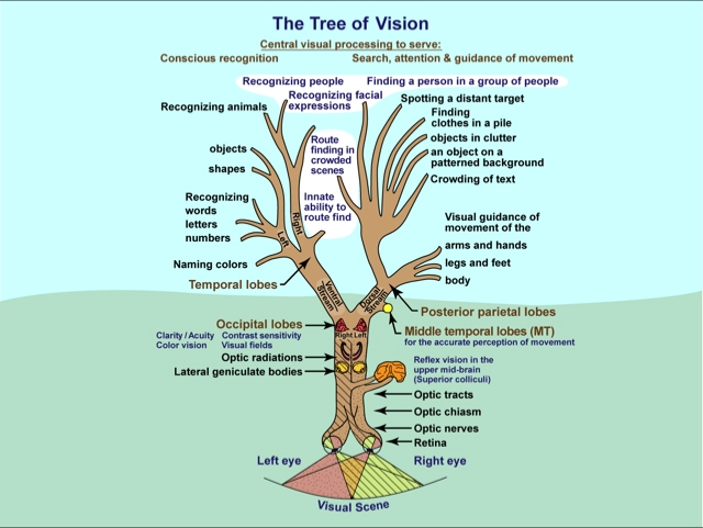Tree of Vision: The Principal Functions of the Visual System and How They Are Connected, Gordon N Dutton, Vision and the Brain, AFB Press, 2015