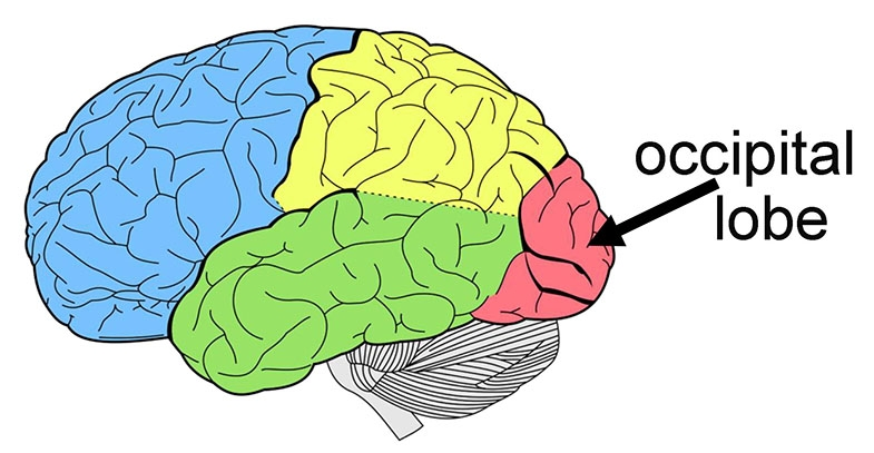 Diagram showing left side of the brain with the occipital lobe, coloured red, indicated with a black arrow.