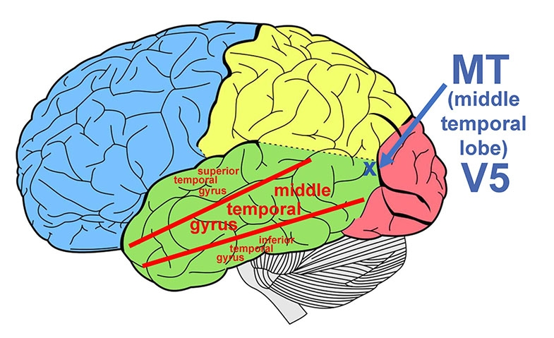 Diagram showing left side of the brain with the location of the area MTV5 indicated with a blue cross and arrow.