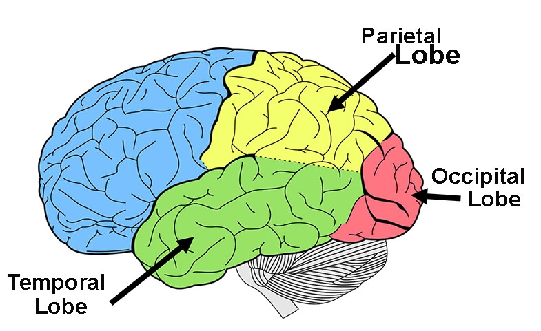 Diagram showing the left side of the brain with the lobes where vision is processed without your conscious control, marked with black arrows.