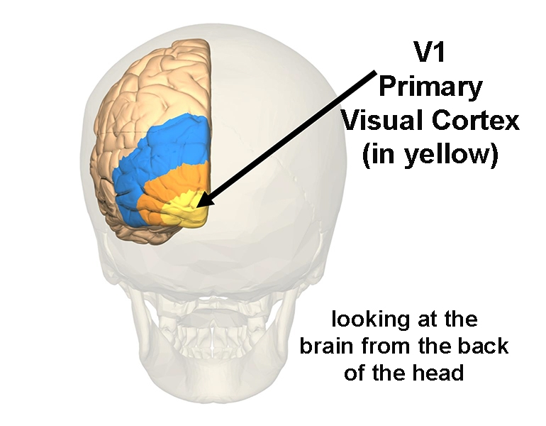 View of V1, also called the Primary Visual Cortex, coloured yellow in this image of the left side of the cerebrum, looking from the back of the head.