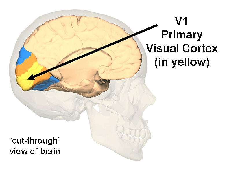 View of V1, also called the Primary Visual Cortex, from a 'cut-through' side view of the brain.