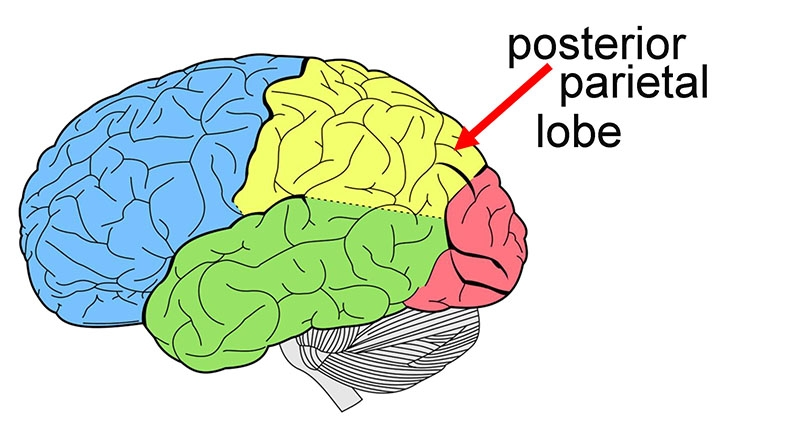 Visual attention is processed in the posterior parietal lobes.