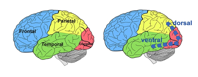 Images of the left side of the brain with the locations of the dorsal and ventral streams.