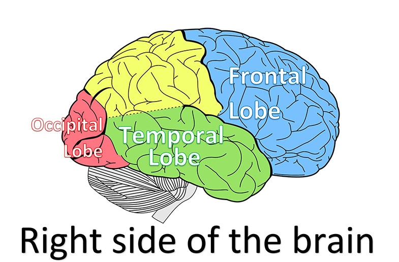 Image of right side of the brain with the occipital lobe (red) temporal lobe (green) and frontal lobe (blue) marked.