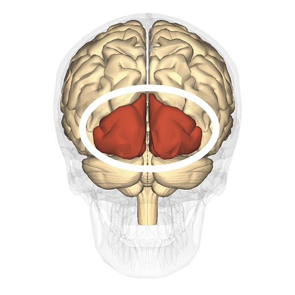 Occipital lobes, coloured red.