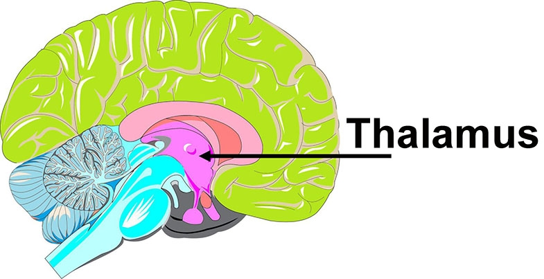 Image of the side of the brain as it would be seen if cut through the middle from the forehead to the back (called a sagittal view), with the thalamus coloured pink, as indicated with the black arrow.
