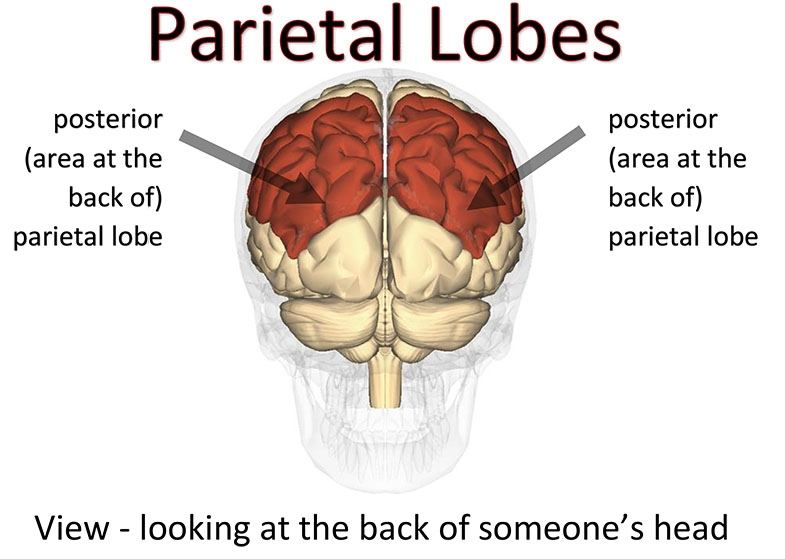 The posterior (back of) the parietal lobes.