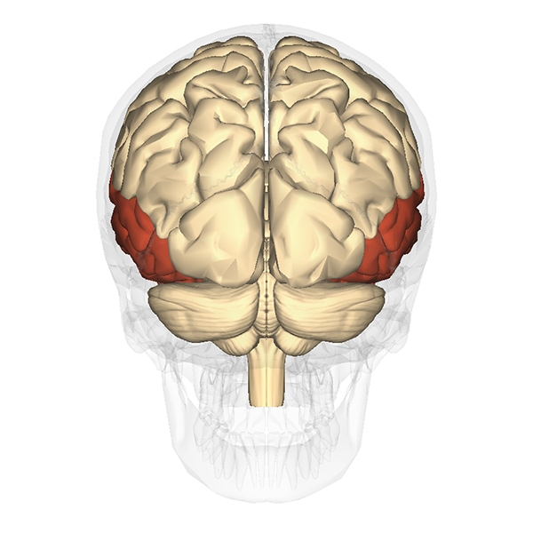 Temporal lobes.  Posterior view of the brain, with the temporal lobes coloured dark red.