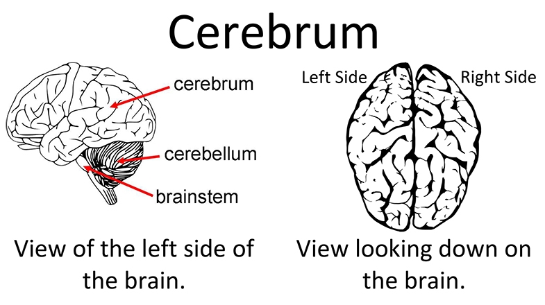 Two different views of the cerebrum, one of the left side of the brain, also showing the cerebellum and brainstem.  The other as it appears when looking down from above.